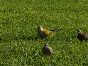 Perruche et pigeon de Buenos Aires